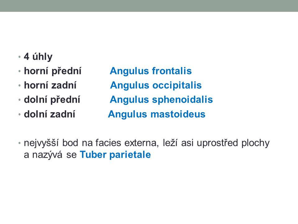 4 úhly horní přední Angulus frontalis. horní zadní Angulus occipitalis. dolní přední Angulus sphenoidalis.