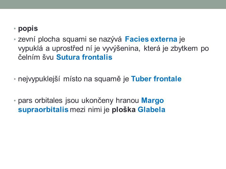 popis zevní plocha squami se nazývá Facies externa je vypuklá a uprostřed ní je vyvýšenina, která je zbytkem po čelním švu Sutura frontalis.