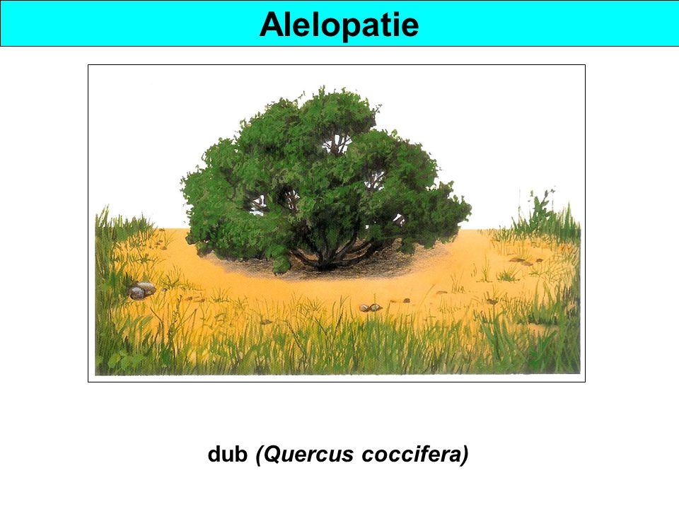 Alelopatie dub (Quercus coccifera)