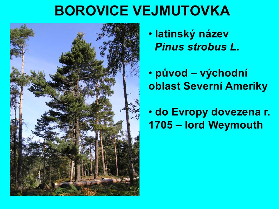BOROVICE VEJMUTOVKA latinský název Pinus strobus L.