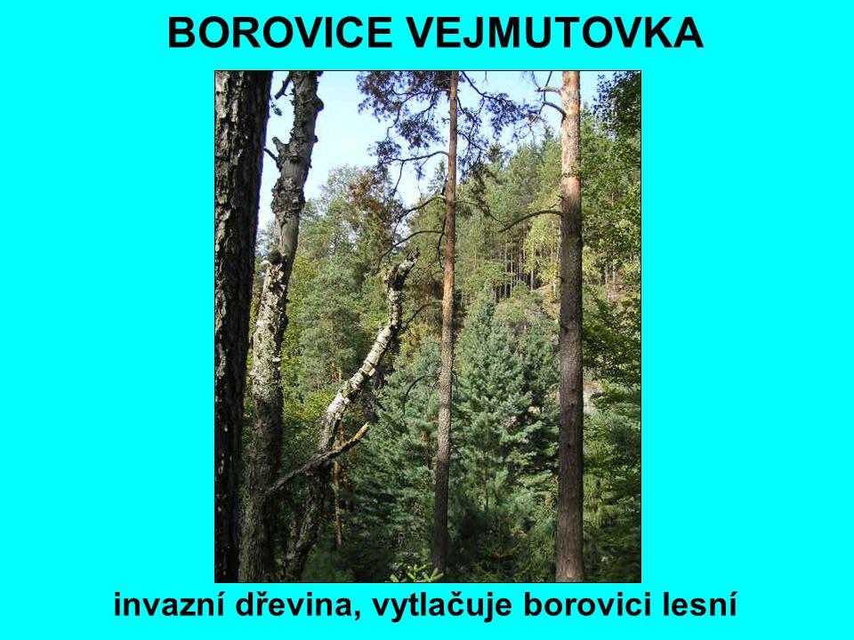 BOROVICE VEJMUTOVKA invazní dřevina, vytlačuje borovici lesní