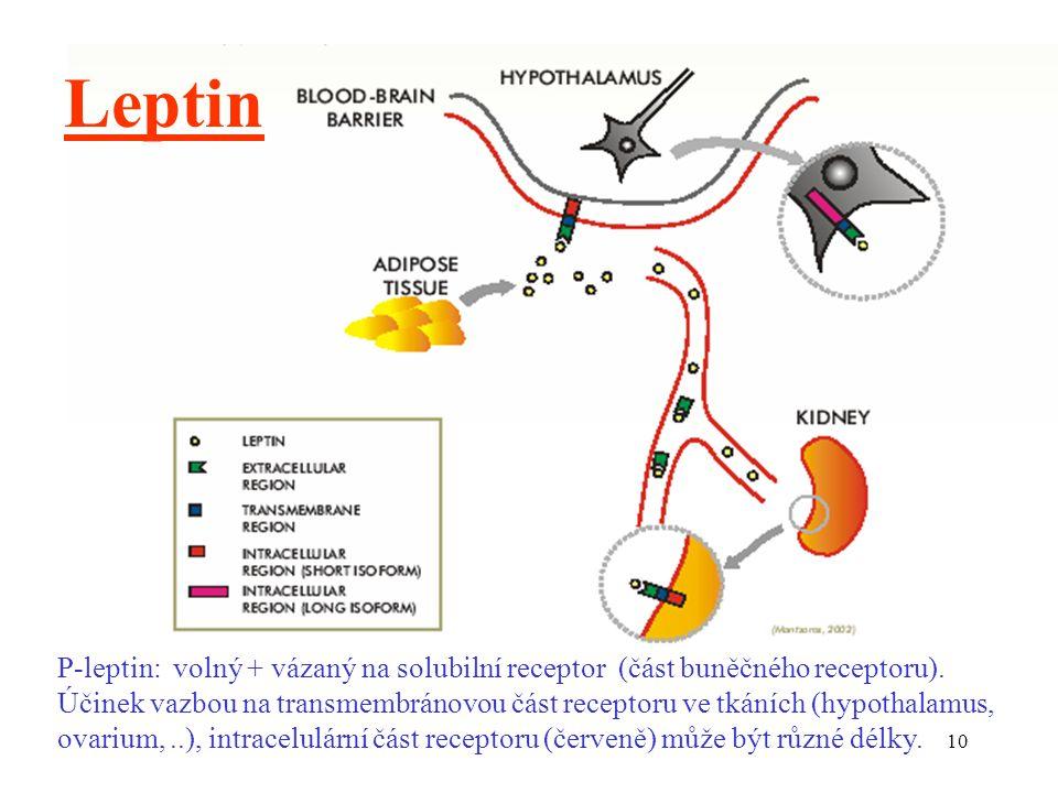 Leptin P-leptin: volný + vázaný na solubilní receptor (část buněčného receptoru).