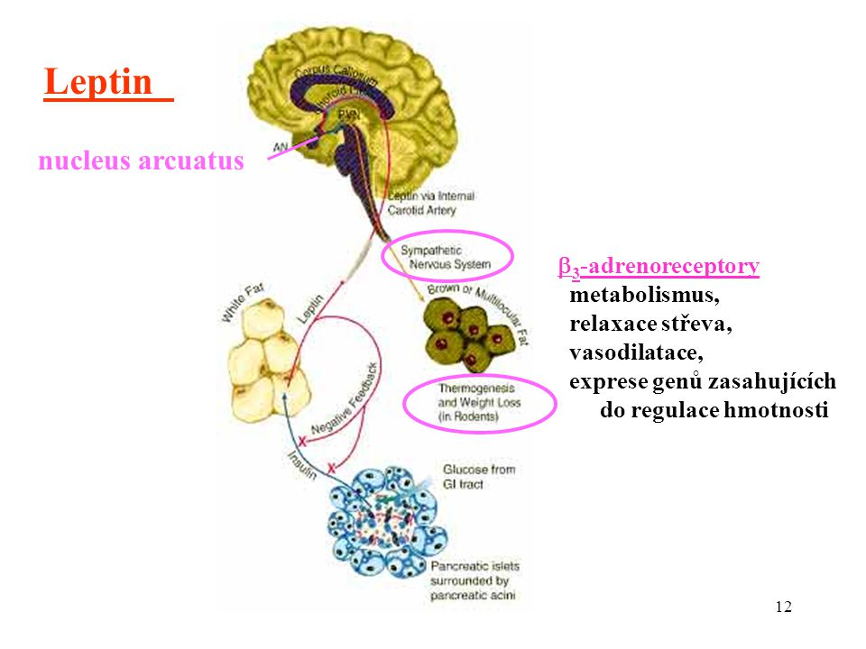 Leptin nucleus arcuatus 3-adrenoreceptory metabolismus,