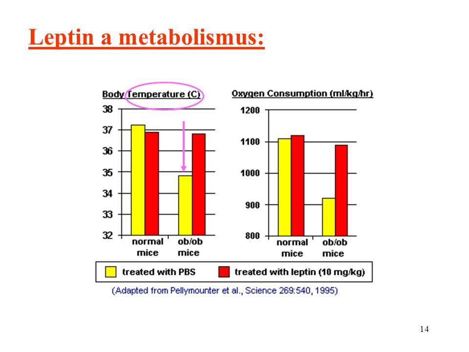 Leptin a metabolismus: