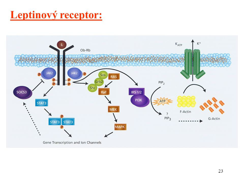 Leptinový receptor: