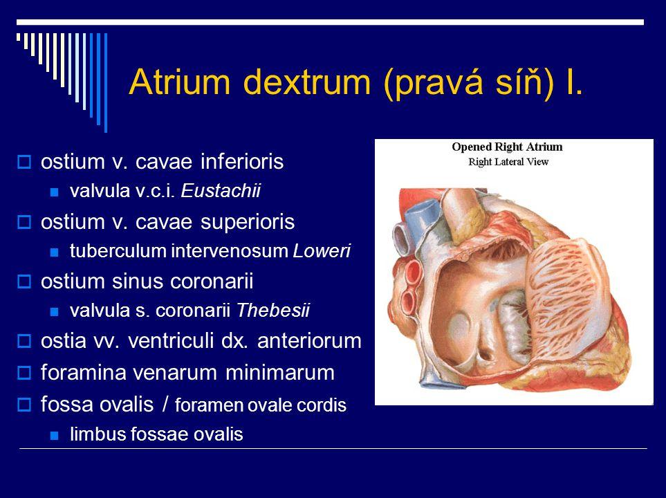 Atrium dextrum (pravá síň) I.