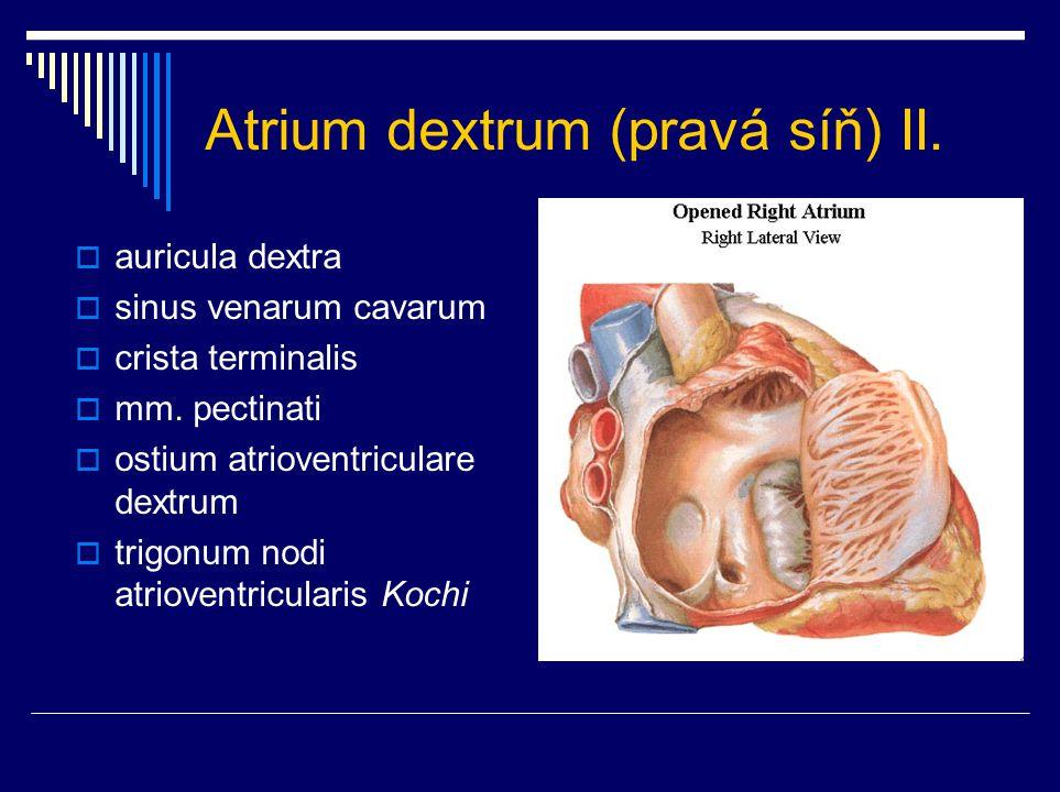 Atrium dextrum (pravá síň) II.