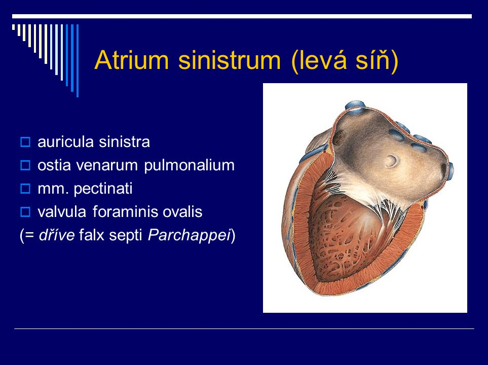 Atrium sinistrum (levá síň)