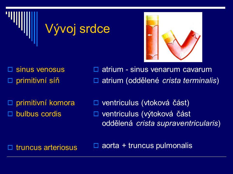 Vývoj srdce sinus venosus primitivní síň primitivní komora