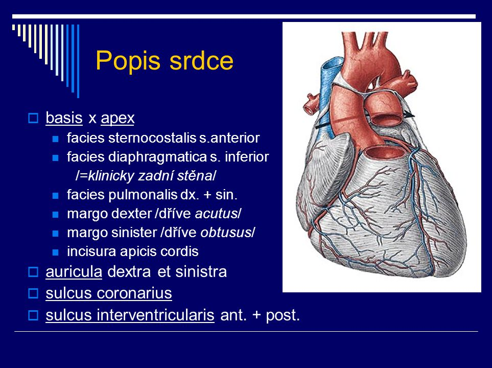 Popis srdce basis x apex auricula dextra et sinistra sulcus coronarius