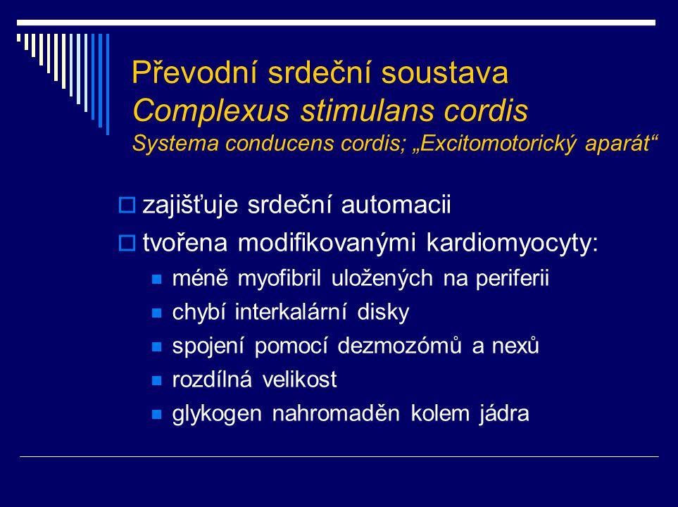 """Převodní srdeční soustava Complexus stimulans cordis Systema conducens cordis; """"Excitomotorický aparát"""