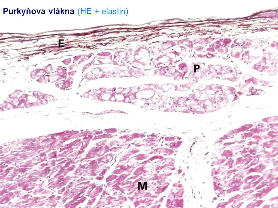 Purkyňova vlákna (HE + elastin)