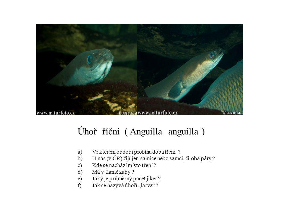 Úhoř říční ( Anguilla anguilla )