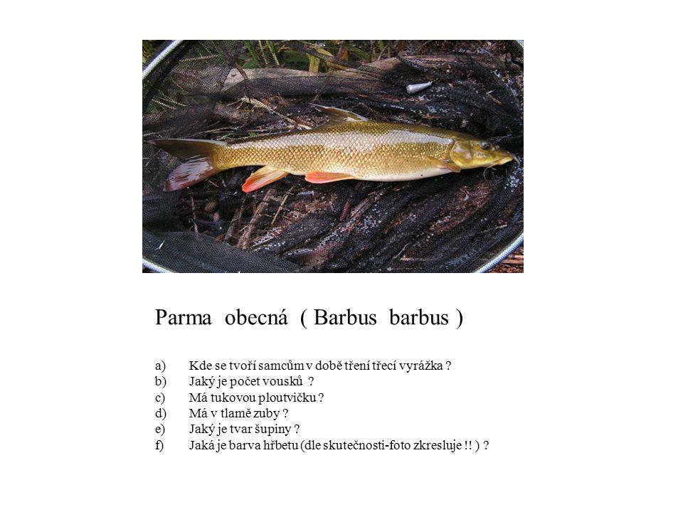 Parma obecná ( Barbus barbus )