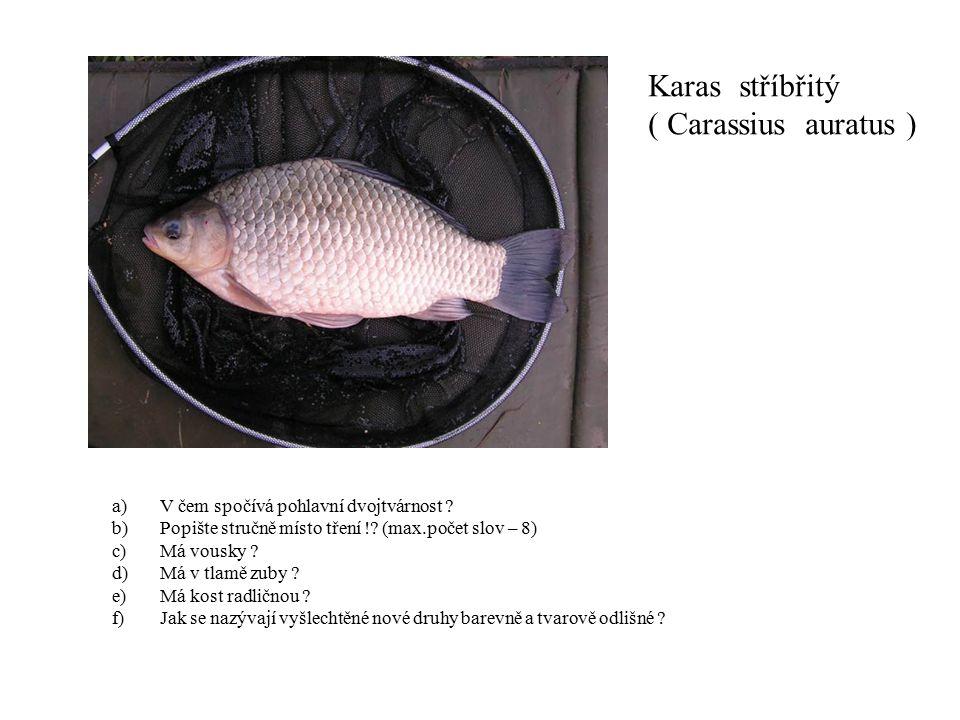Karas stříbřitý ( Carassius auratus )