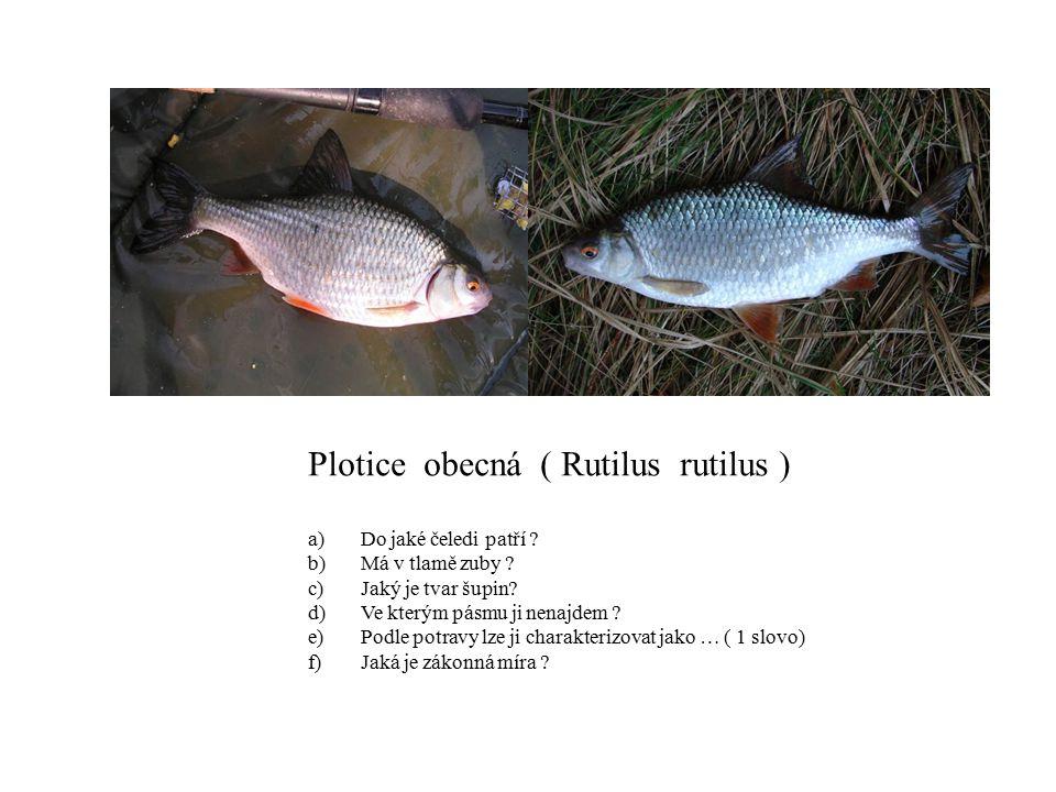 Plotice obecná ( Rutilus rutilus )
