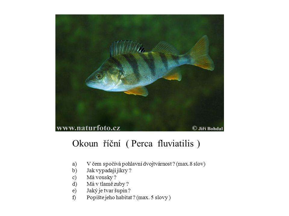 Okoun říční ( Perca fluviatilis )