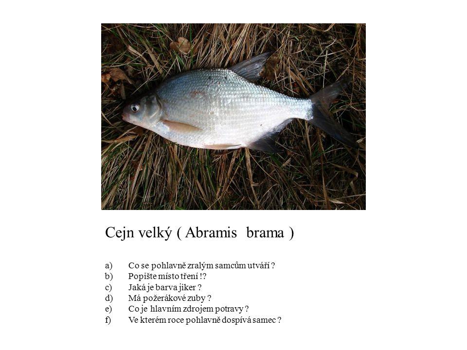 Cejn velký ( Abramis brama )