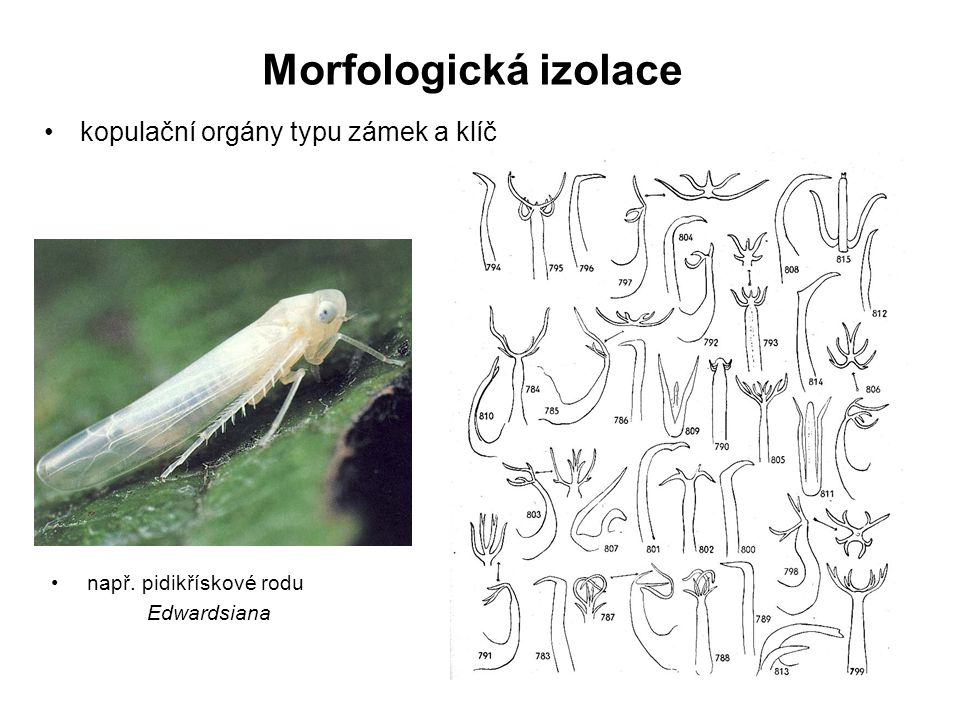 Morfologická izolace kopulační orgány typu zámek a klíč