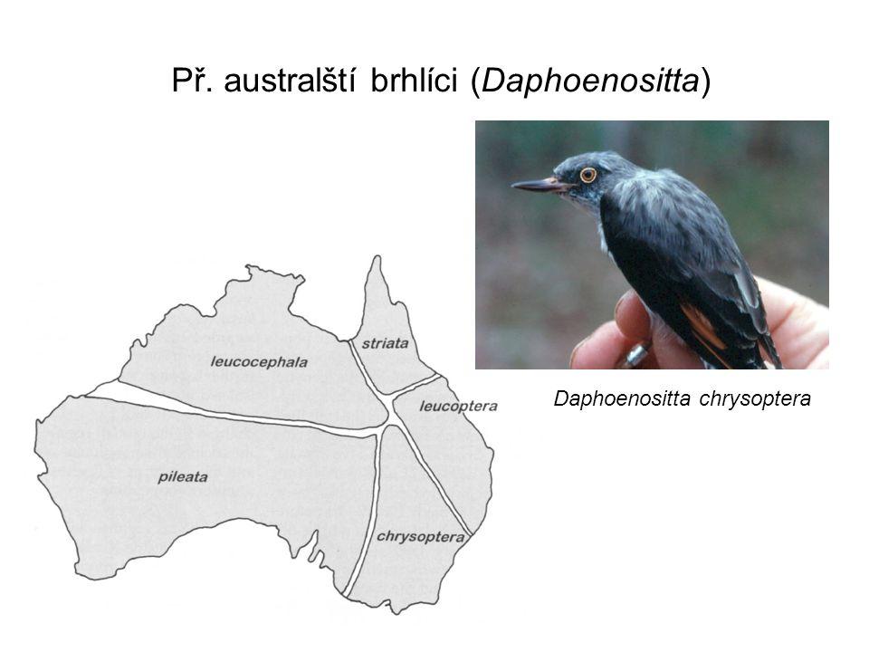 Př. australští brhlíci (Daphoenositta)