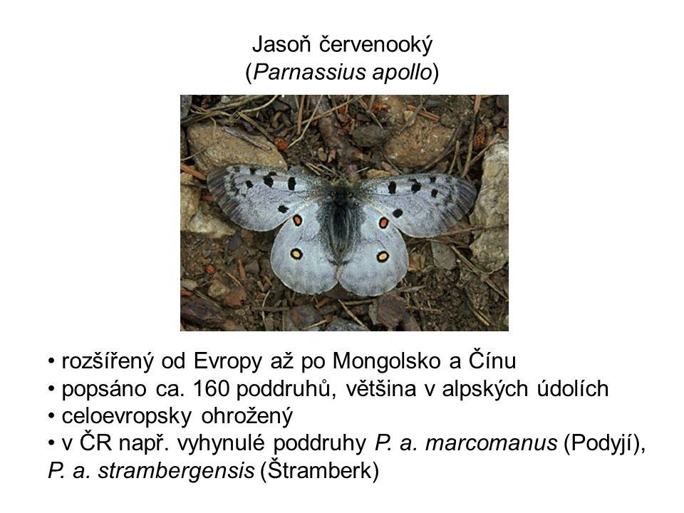 Jasoň červenooký (Parnassius apollo)