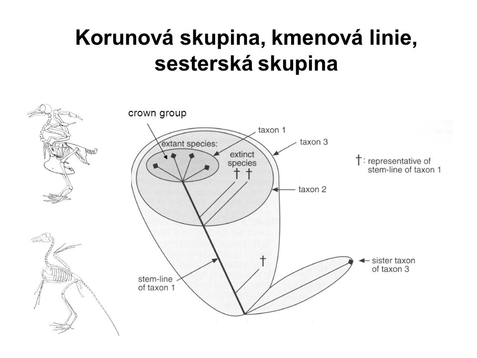 Korunová skupina, kmenová linie, sesterská skupina