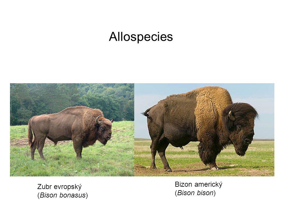 Allospecies Bizon americký (Bison bison) Zubr evropský (Bison bonasus)