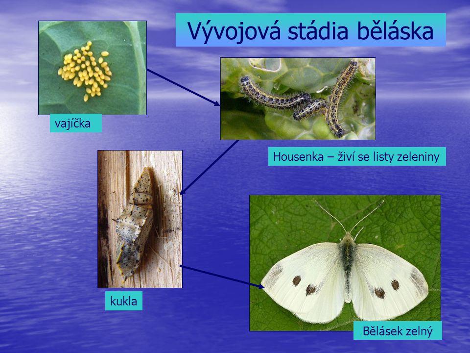 Vývojová stádia běláska
