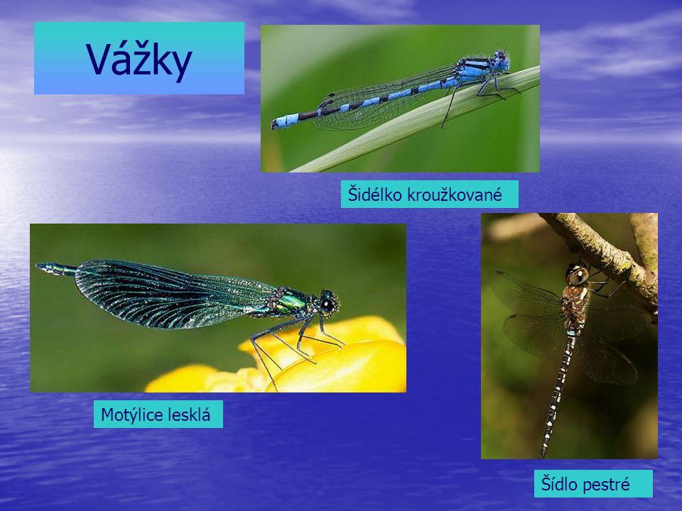 Vážky Šidélko kroužkované Motýlice lesklá Šídlo pestré