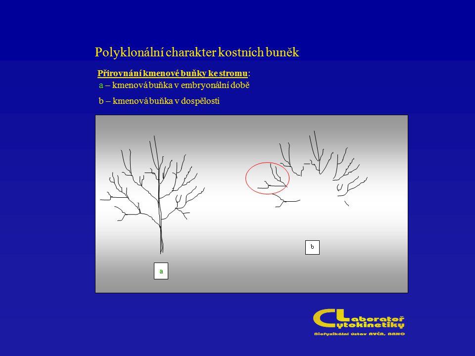 Polyklonální charakter kostních buněk