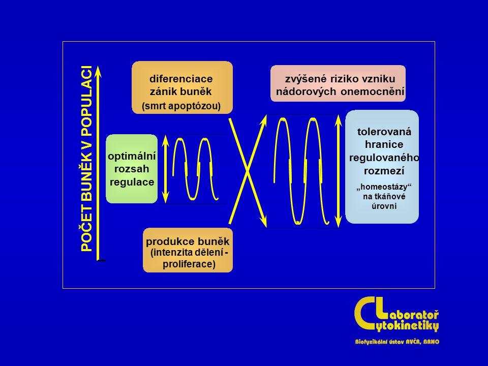 POČET BUNĚK V POPULACI diferenciacezánik buněk
