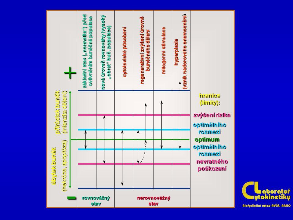 - + hranice (limity): přírůstek buněk (intenzita dělení)