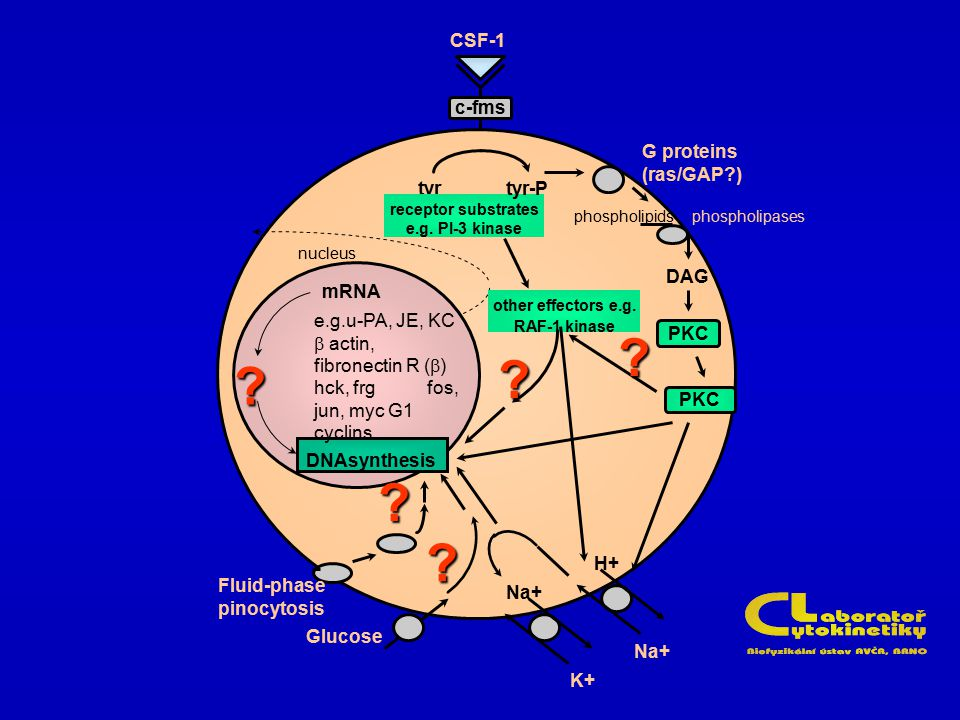 receptor substrates e.g. PI-3 kinase other effectors e.g. RAF-1 kinase