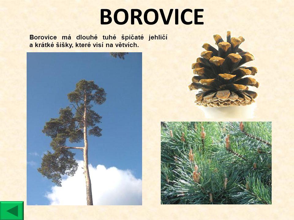 BOROVICE Borovice má dlouhé tuhé špičaté jehličí a krátké šišky, které visí na větvích.
