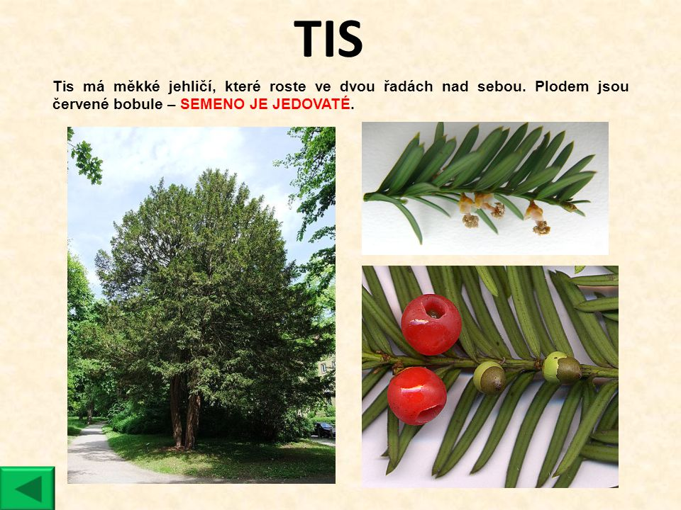 TIS Tis má měkké jehličí, které roste ve dvou řadách nad sebou.