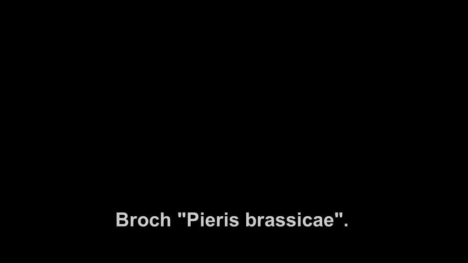 Broch Pieris brassicae .