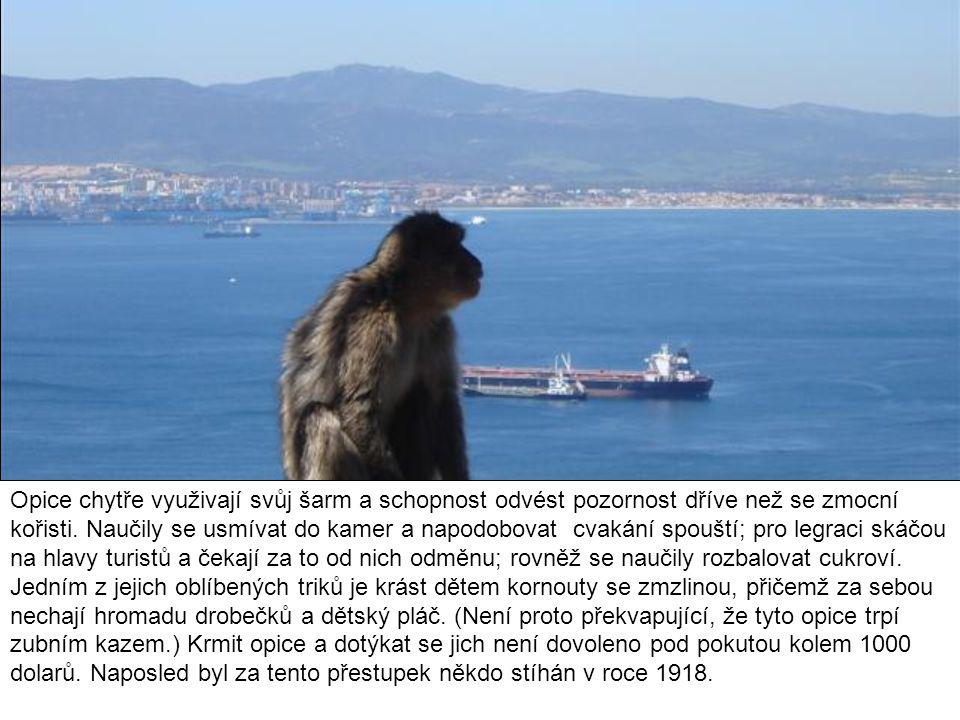 Opice chytře využivají svůj šarm a schopnost odvést pozornost dříve než se zmocní kořisti.