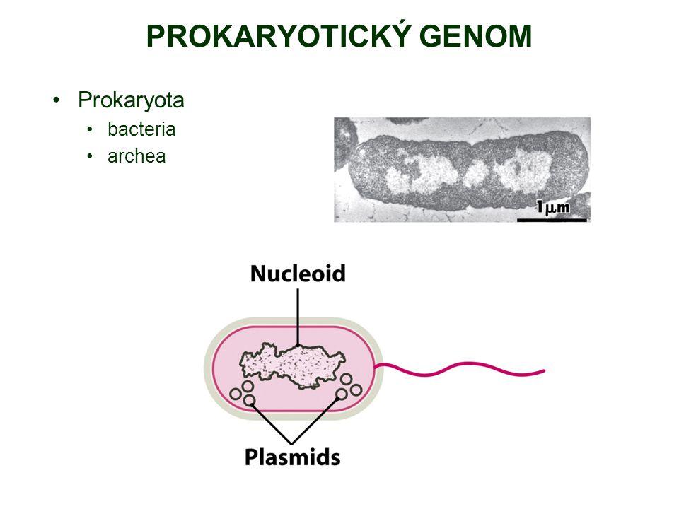 PROKARYOTICKÝ GENOM Prokaryota bacteria archea