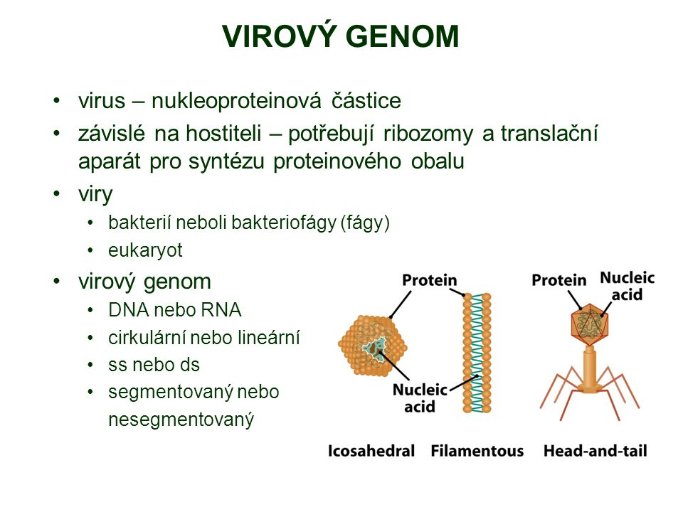 VIROVÝ GENOM virus – nukleoproteinová částice