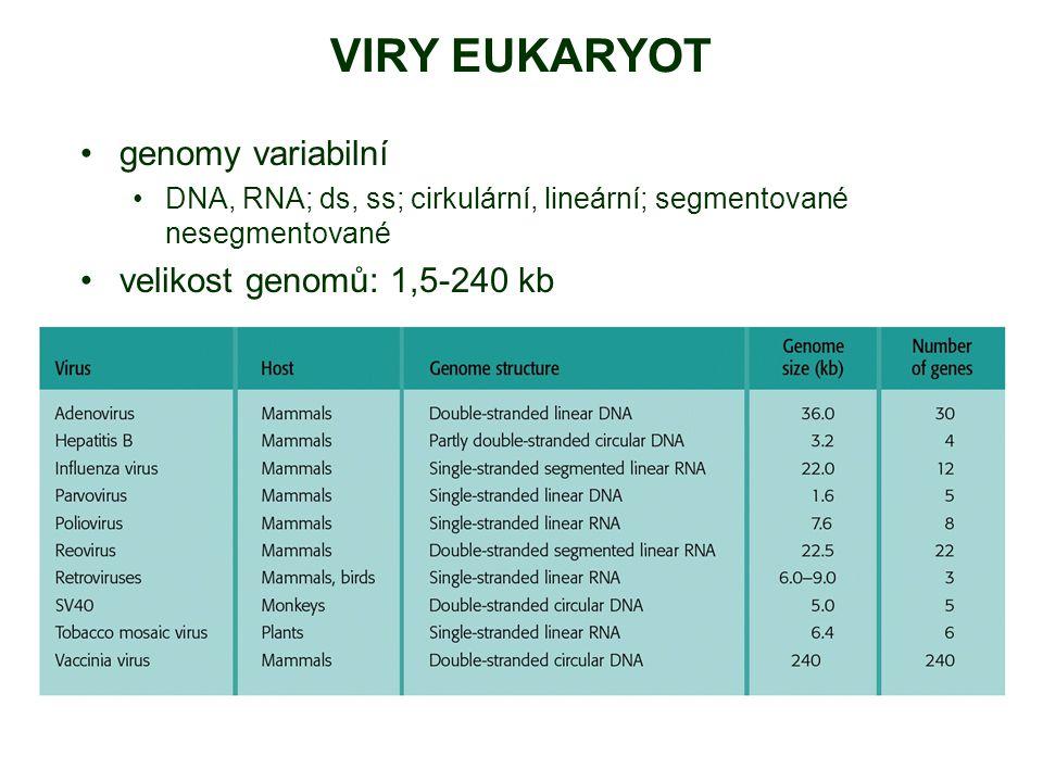VIRY EUKARYOT genomy variabilní velikost genomů: 1,5-240 kb