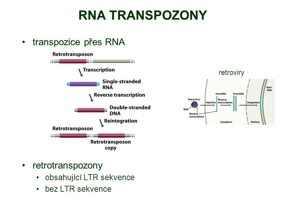 RNA TRANSPOZONY transpozice přes RNA retrotranspozony