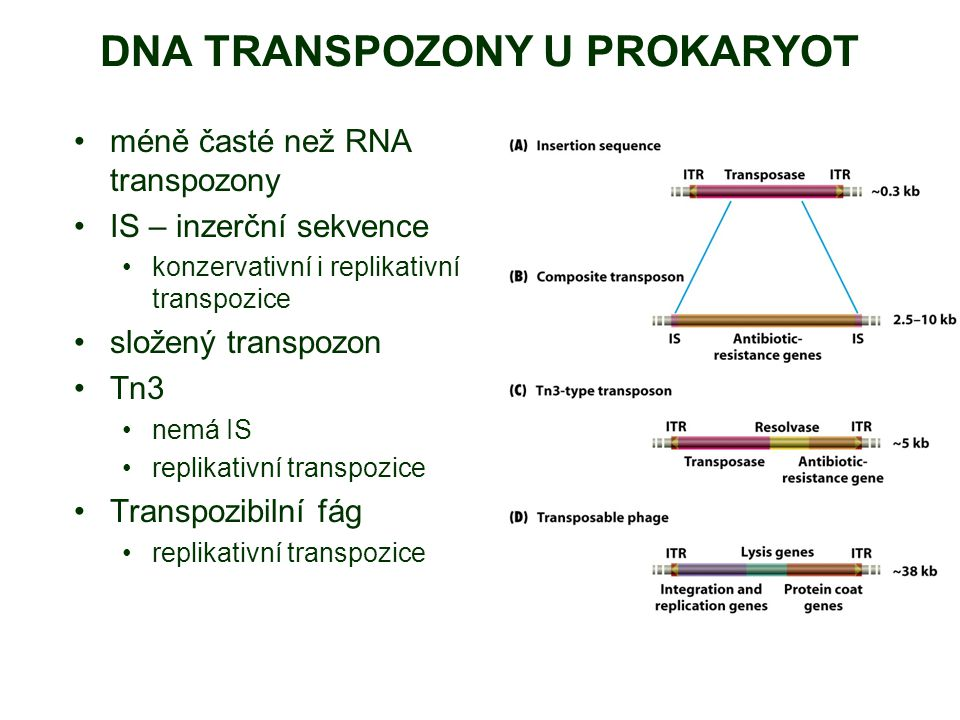 DNA TRANSPOZONY U PROKARYOT