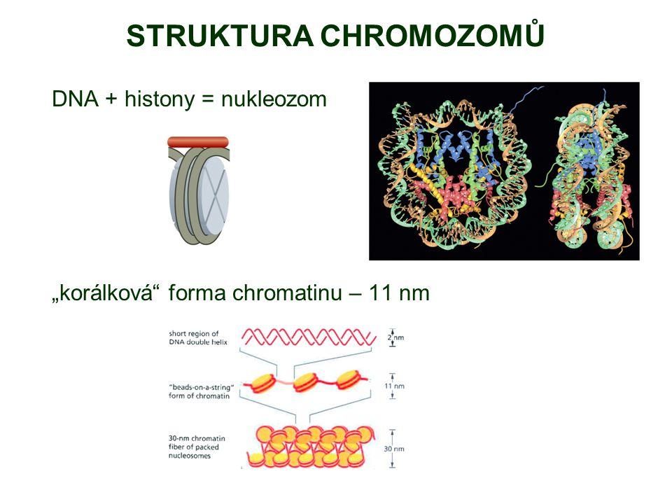 STRUKTURA CHROMOZOMŮ DNA + histony = nukleozom