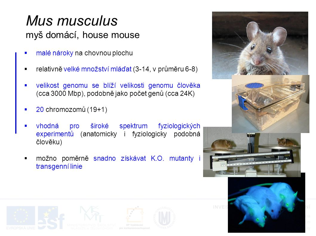 Mus musculus myš domácí, house mouse malé nároky na chovnou plochu