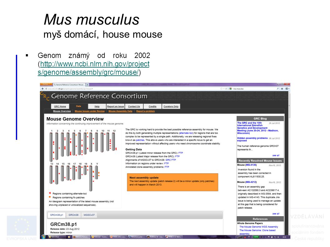 Mus musculus myš domácí, house mouse