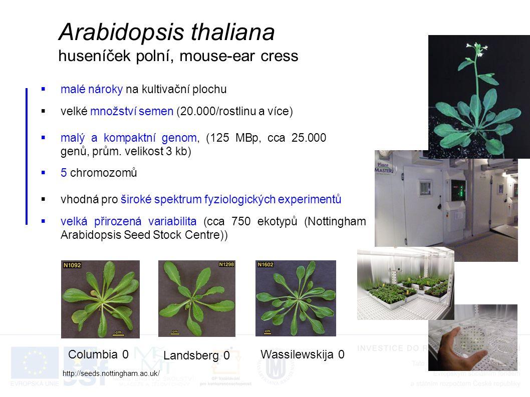 Arabidopsis thaliana huseníček polní, mouse-ear cress Columbia 0