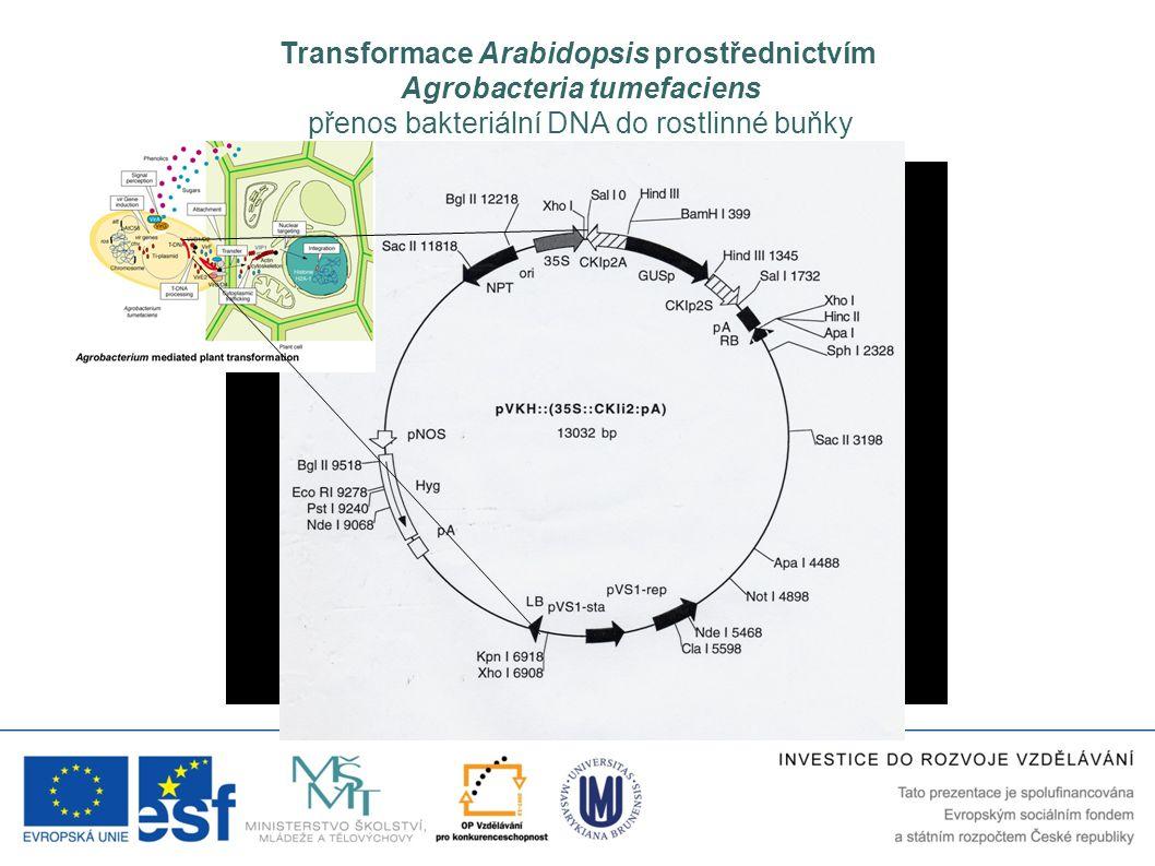 Transformace Arabidopsis prostřednictvím Agrobacteria tumefaciens