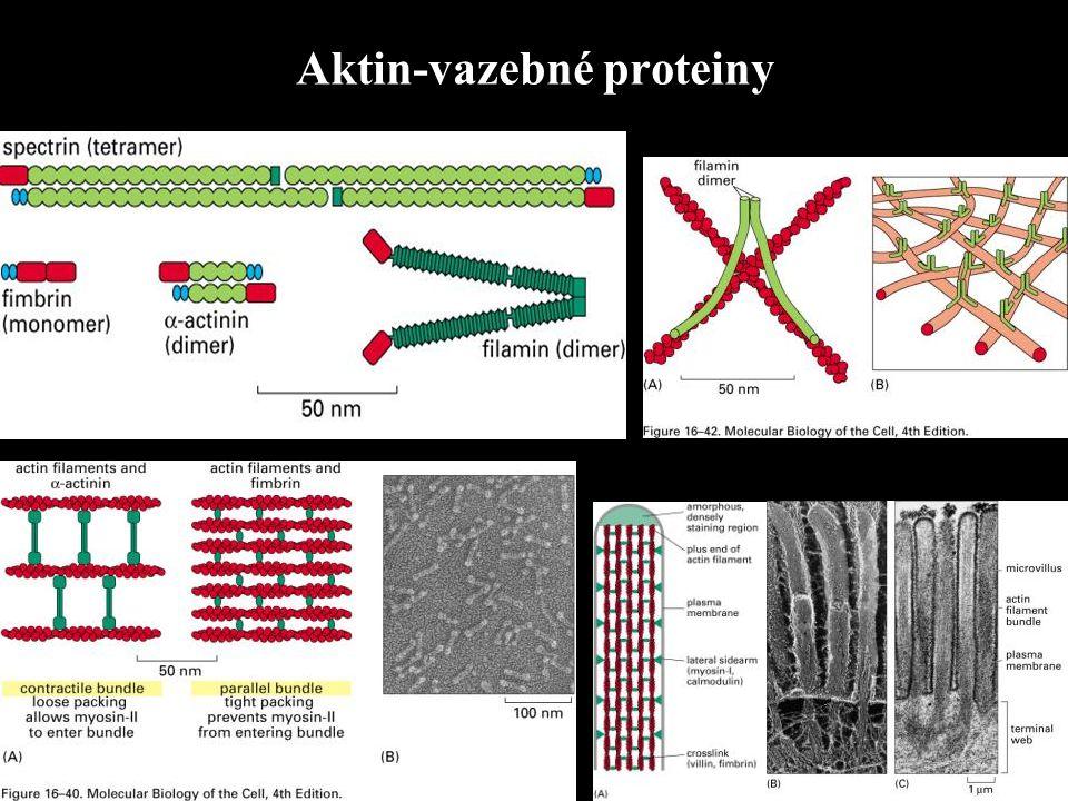 Aktin-vazebné proteiny