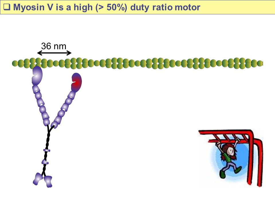 Myosin V is a high (> 50%) duty ratio motor