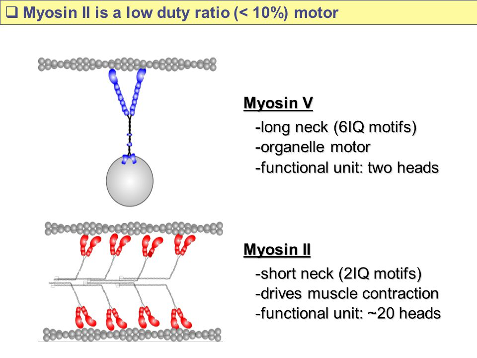 Myosin II is a low duty ratio (< 10%) motor